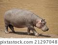 Hippopotamus 21297048