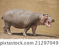 Hippopotamus 21297049