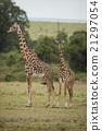 Two Giraffes in the Savannah 21297054