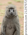 Portrait of an Olive Baboon 21297072