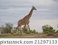 Giraffe in the Savannah 21297133