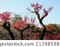 城堡 日本梅子 梅 21298598