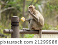 monkey with corncob 21299986