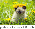Little kitten on the dandelion lawn 21300794
