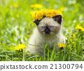 Little kitten on the dandelion lawn 21300794