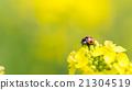 油菜花 油菜 瓢蟲 21304519