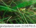Grasshopper in a grass 21307015