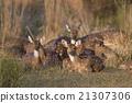 deer, animal, india 21307306
