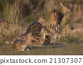 deer, animal, india 21307307