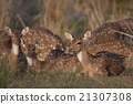 deer, animal, india 21307308