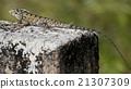 Indian Lizard 21307309