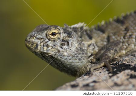 Indian Lizard 21307310