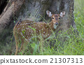 spotted, deer, national 21307313