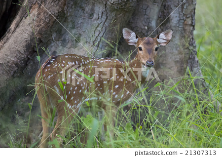 Young spotted deer in Kanha National Park 21307313