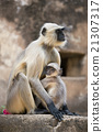 Gray Langur protecting its Cub 21307317