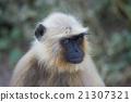 Gray Langur in Ranthambhore N.P. - India 21307321