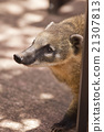 Snout of a Coati 21307813