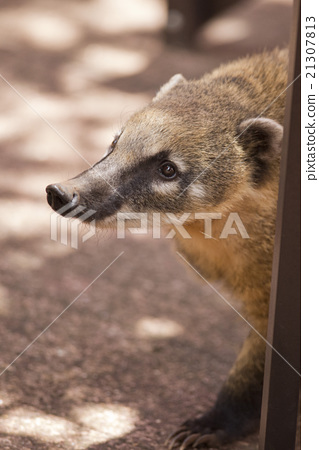 Snout of a Coati 21307813