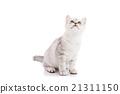 动物 猫 猫咪 21311150