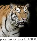 Tiger 21312031