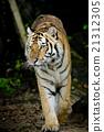 Tiger 21312305