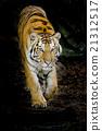 Tiger 21312517