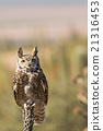 Great Horned Owl 21316453