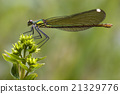 side of wild gold green dragonfly coenagrio  21329776