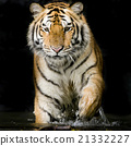 Tiger 21332227