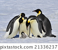 Emperor Penguins with chick 21336237