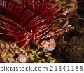 Spotfin Lionfish 21341188