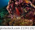 Spotfin Lionfish 21341192
