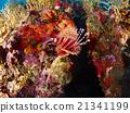 Spotfin Lionfish 21341199