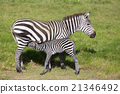 Mother nursing foal zebra, Equus quagga. 21346492