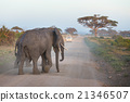 Family of elephants on dirt roadi in Amboseli 21346507