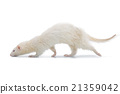 Ferret on white background 21359042