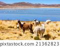 Cute lamas 21362823