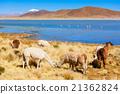 Cute lamas 21362824