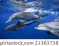 东方宽吻海豚 海豚 海洋 21363738