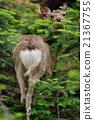 鹿 北海道鹿 哺乳动物 21367755