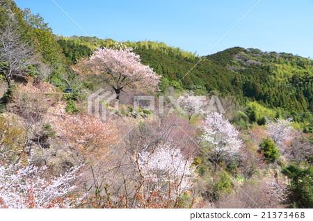風景 櫻花 櫻 21373468