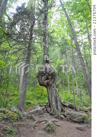 bizarre growth on a birch tree 21376704