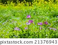 黃芪屬植物 中國紫雲英 蓮花 21376943
