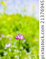 黃芪屬植物 中國紫雲英 蓮花 21376945