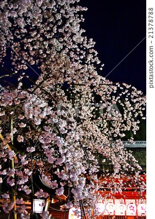 밤 벚꽃, 밤, 벚꽃 21378788