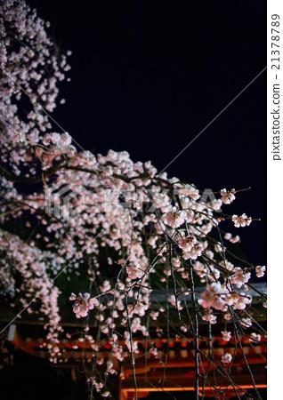 夜櫻 夜晚的櫻花樹 夜晚 21378789