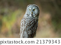 Wild Owl in Nature 21379343