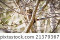 Wild Owl in Nature 21379367