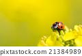 油菜花 油菜 瓢蟲 21384989