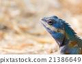 Asia Chameleon on barley field 21386649